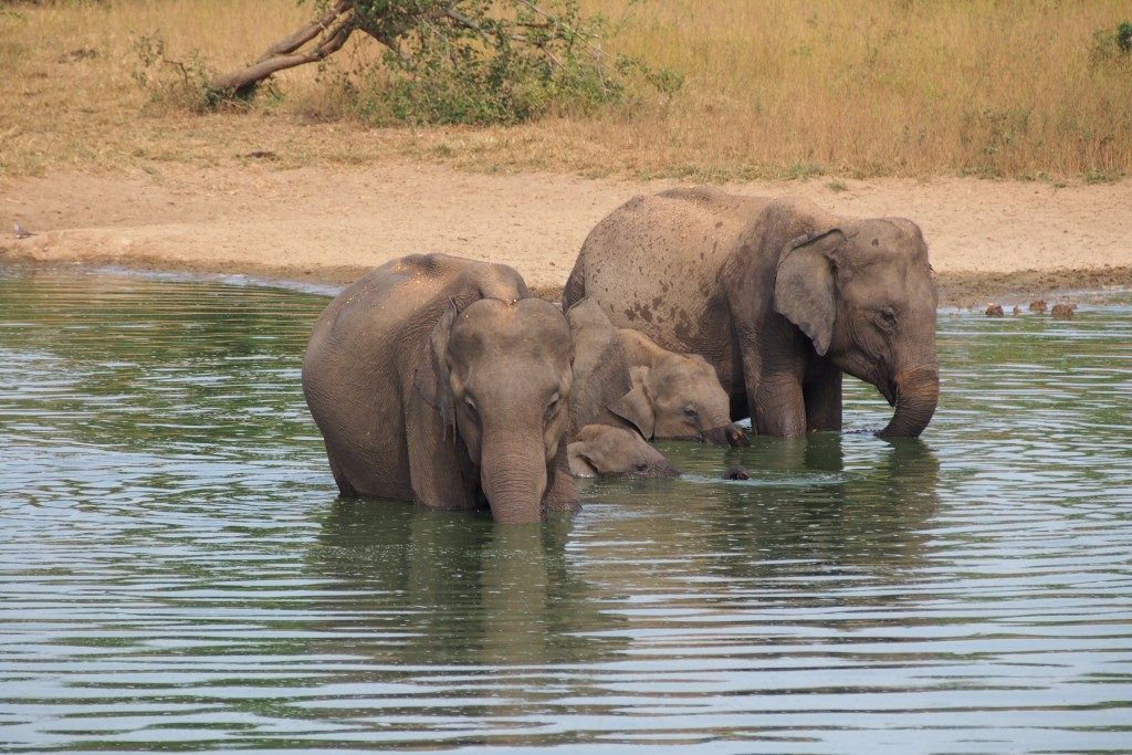 10-jours-Sri-Lanka-safari-Elephants