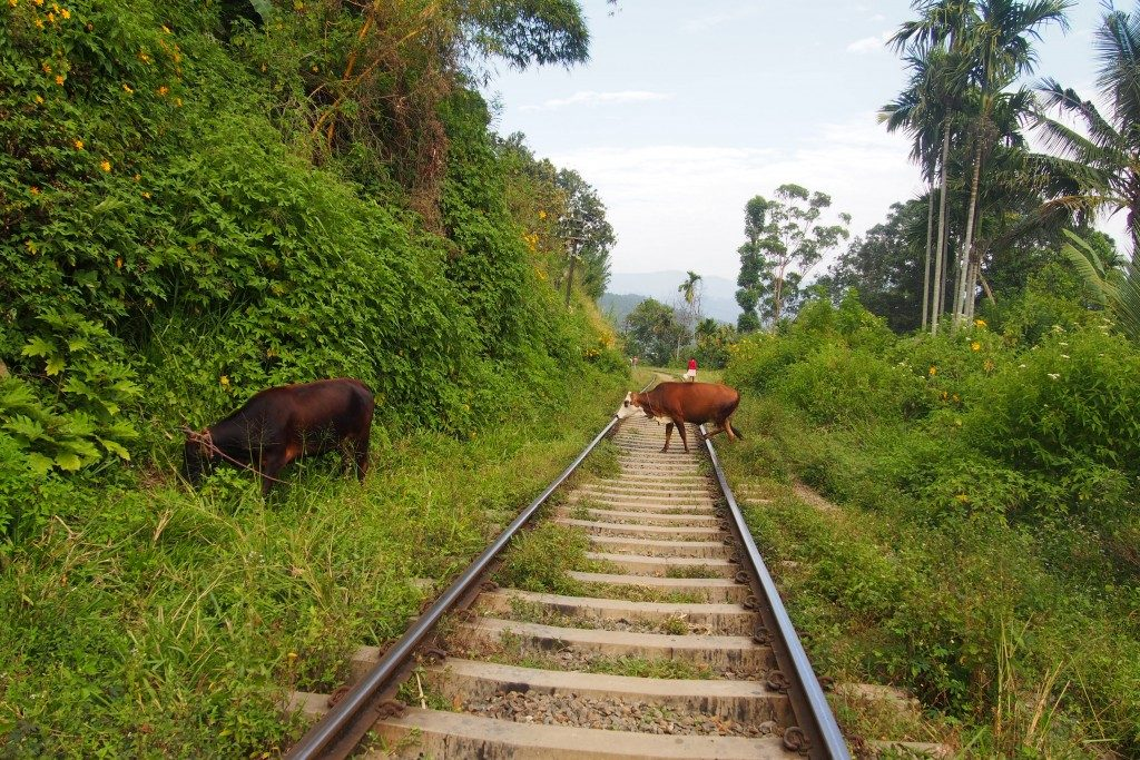 Vache-rails-train-sri-lanka