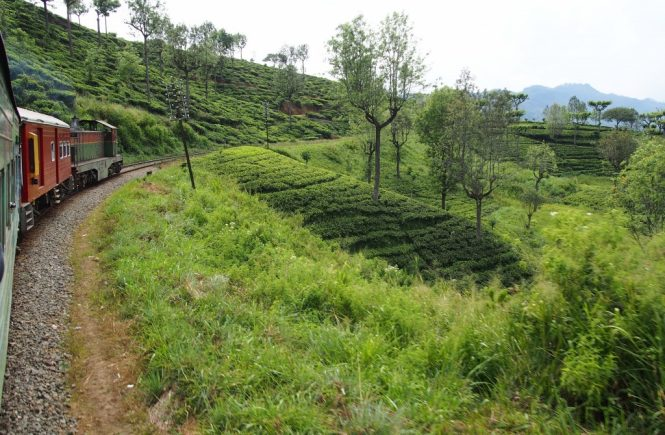Prendre le train au Sri Lanka : champs de thé