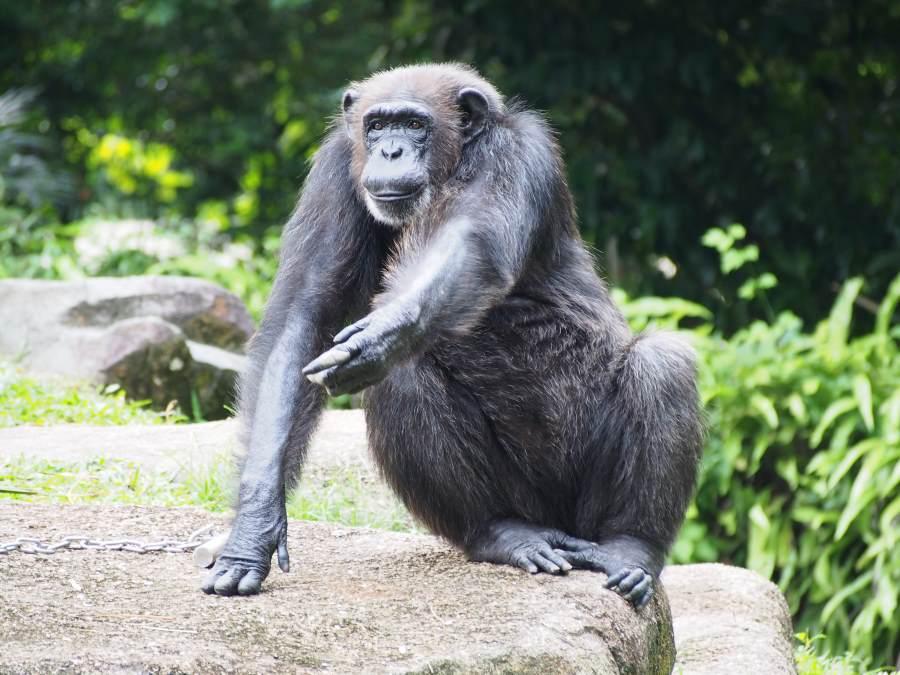 Un chimpanzé du Zoo de Singapour