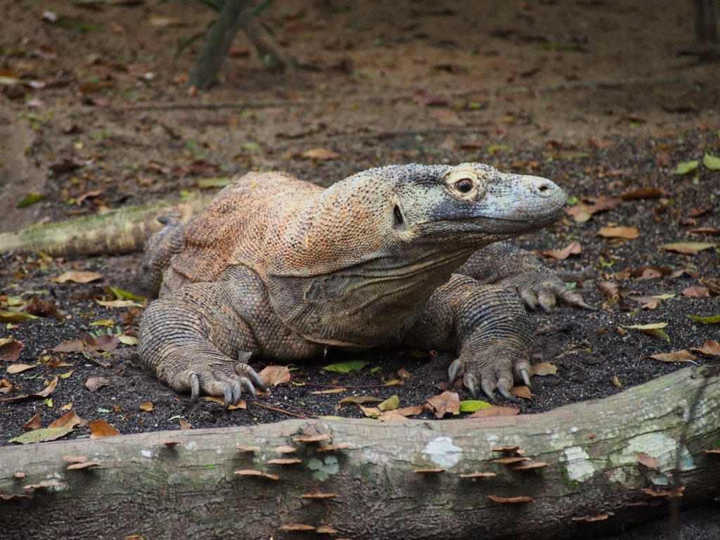 Un iguane du Zoo de Singapour