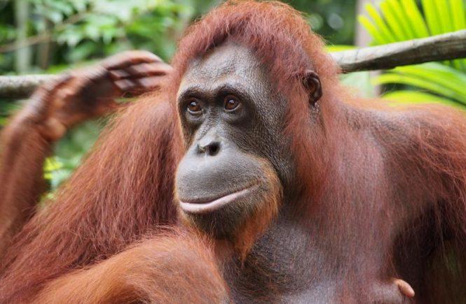 Orang-outangs du Zoo de Singapour