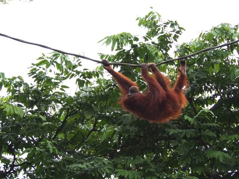 Orang-outang du Zoo de Singapour accroché à un liane