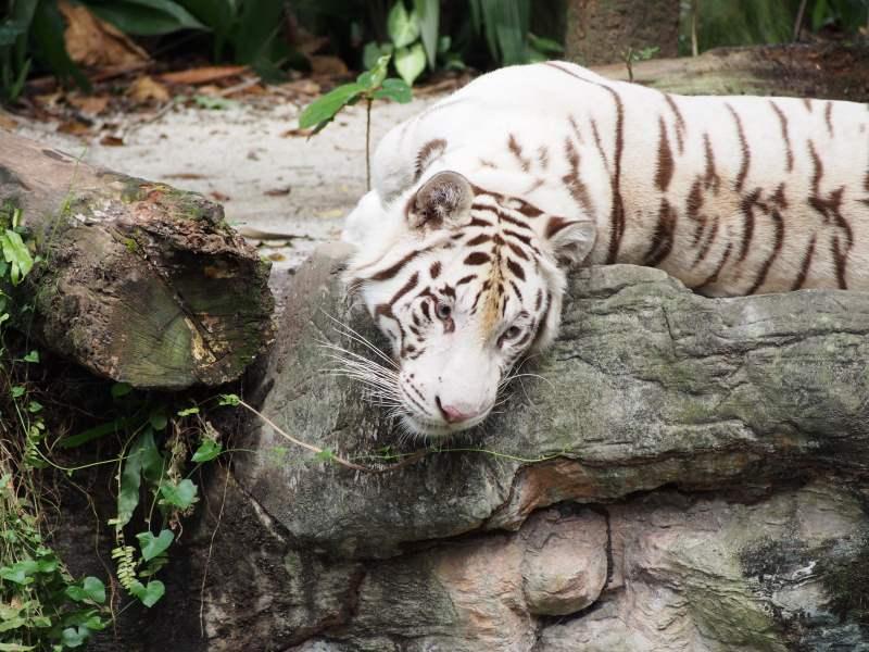 Un tigre blanc du Zoo de Singapour