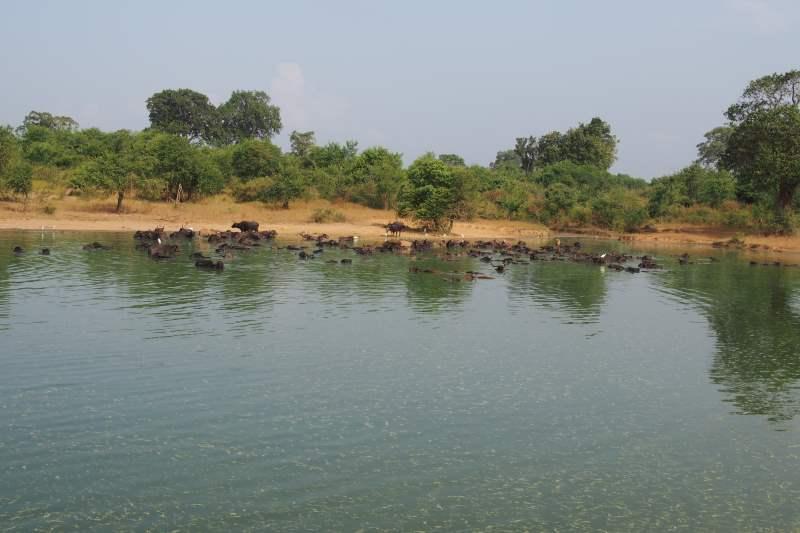 Des buffles se baigent dans un étang