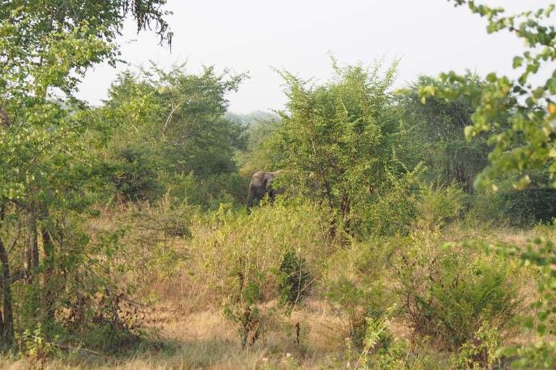 Un éléphant entre les buissons