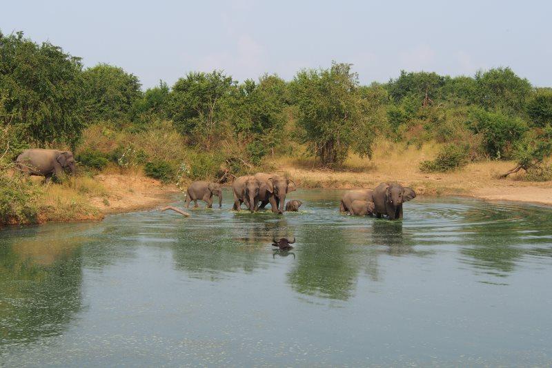 Un buffle et des éléphants se baignant dans un étang