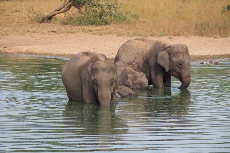 Éléphants du safari se baignant dans l'étang