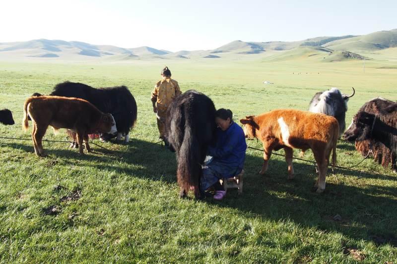 Tu sais que tu es en Mongolie quand : tu essaies de traire les yacks
