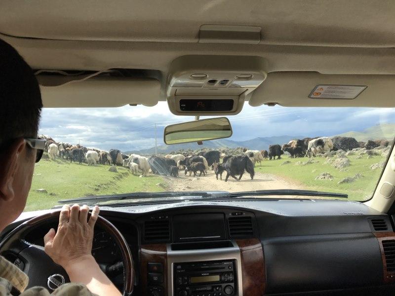 Tu sais que tu es en Mongolie quand : tu dois déloger les yacks
