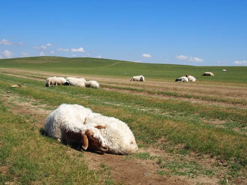 Voyage en Mongolie : moutons endormis