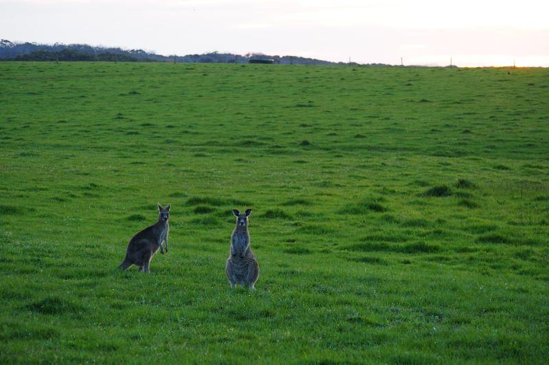 Road trip sur la Great Oean Road : deux kangourous en liberté