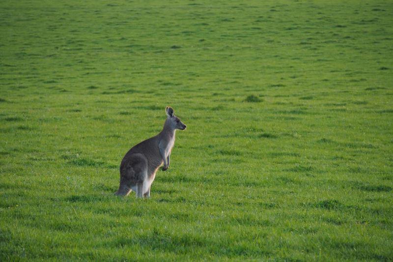 Road trip sur la Great Oean Road : un kangourou en liberté