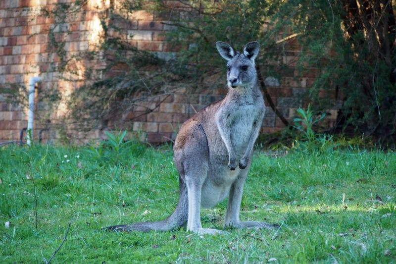 Top 8 des choses à faire autour de Melbourne : kangourou