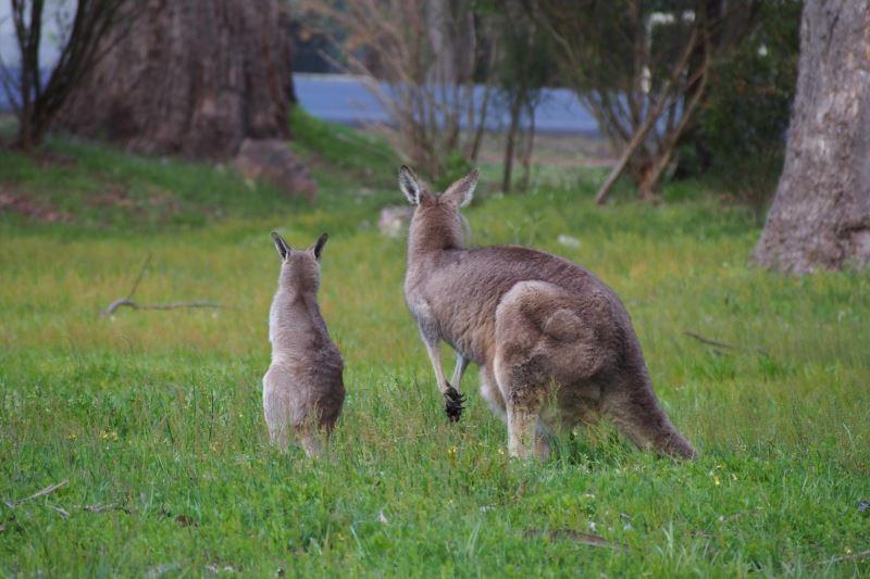 Top 8 des choses à faire autour de Melbourne : Maman et bébé kangourou