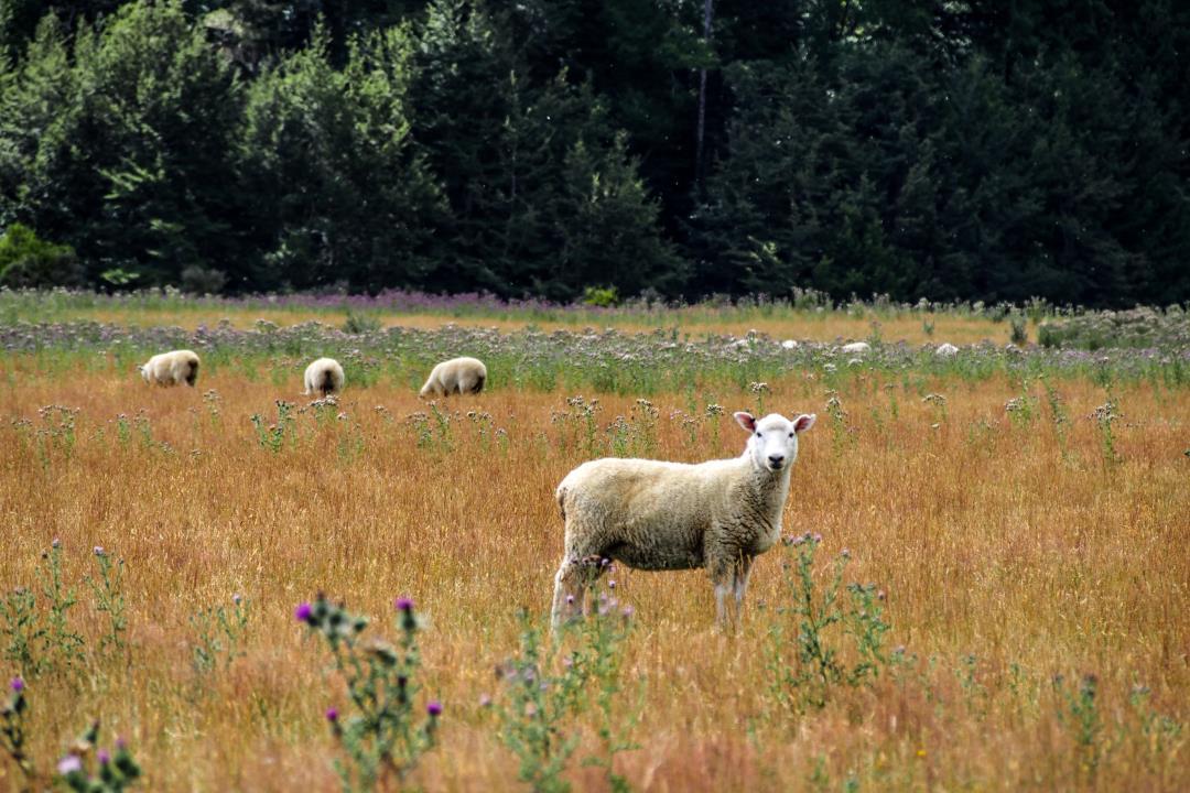 2 semaines en Nouvelle-Zélande : les moutons néo-zélandais