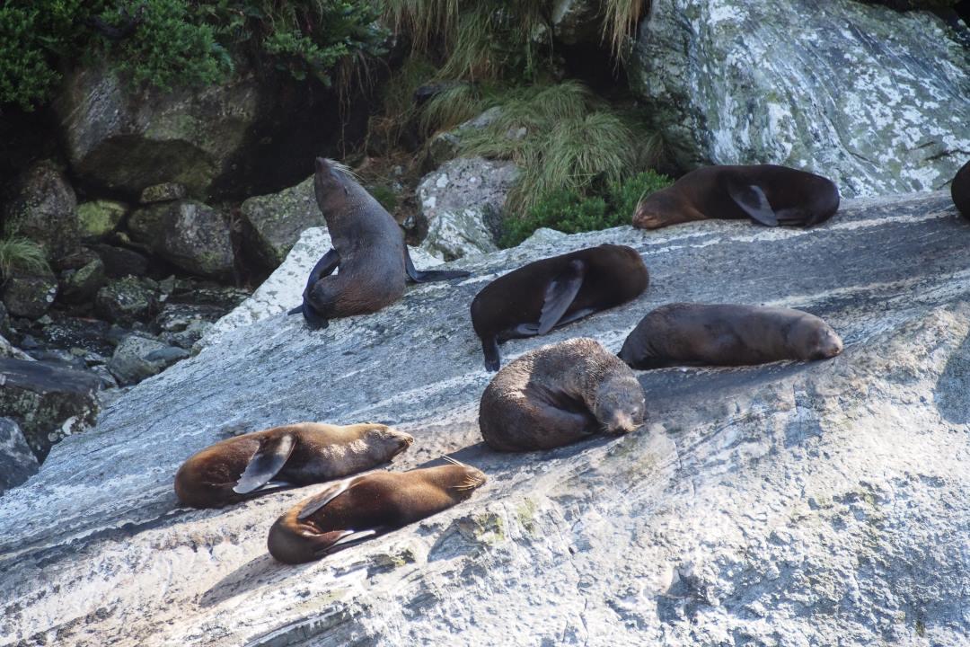 2 semaines en Nouvelle-Zélande : otaries durant la croisière sur le Milford Sound